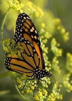 farfalla monarca foto