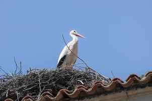 cicogna bianca, ciconia ciconia foto