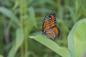 farfalla monarca sul milkweed foto