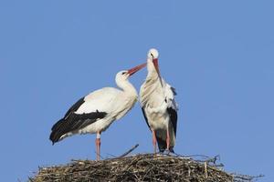 coppia di cicogne bianche foto
