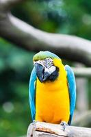 macaw blu e giallo foto