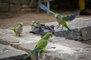 pappagalli che giocano foto