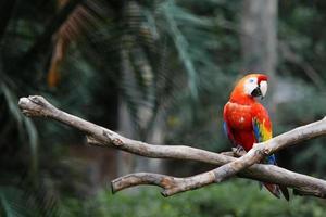 pappagallo rosso foto