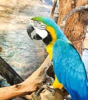 pappagallo ara foto