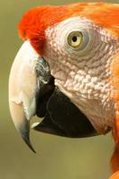 pappagallo di Arara foto
