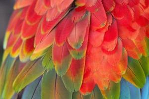 piume di macaw foto
