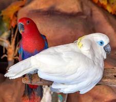 uccello cacatua foto