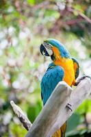 cacatua pappagallo foto