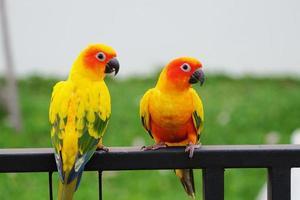 pappagallo conuro del sole foto