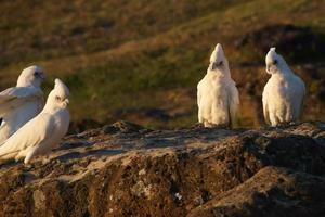 la piccola cacatua corella è seduta su una roccia. foto
