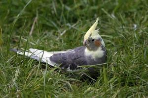 Cockatiel nell'erba