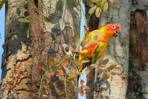 adorabile pappagallo colorato conuro del sole nella natura foto