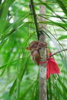 tarsier filippino su un ramo foto
