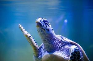 nuoto delle tartarughe