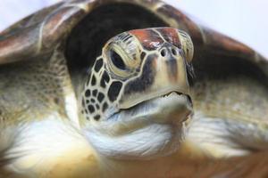stretta di una tartaruga embricata foto