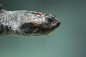 tartaruga di fiume gigante foto