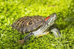 cursore dalle orecchie rosse - tartaruga trachemys scripta elegans foto