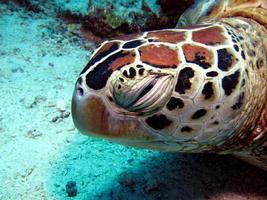 tartaruga embricata dormiente foto