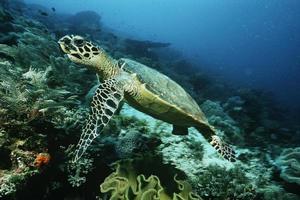 raja ampat, indonesia, oceano pacifico, tartaruga embricata sopra la barriera corallina foto