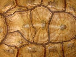 modello di guscio di tartaruga