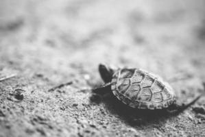 piccola tartaruga