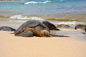 tartaruga verde (chelonia mydas) foto