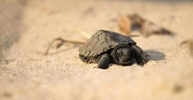 piccola tartaruga che striscia sulla sabbia foto
