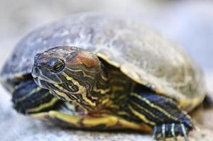 cursore tartaruga dalle orecchie rosse foto