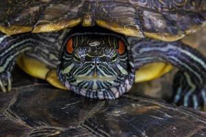 tartaruga dalle orecchie rosse - trachemys scripta elegans foto
