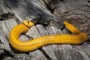 Cobra mantello giallo