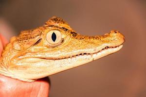 primo piano del viso di caimano foto