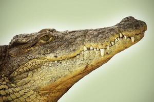 alligatore foto