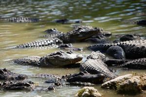 alligatori delle Everglades foto