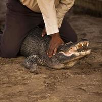 lavorando con un alligatore americano foto