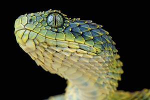 bush viper / atheris squamigera foto