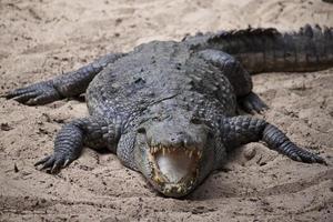 coccodrillo rapinatore o palustre foto