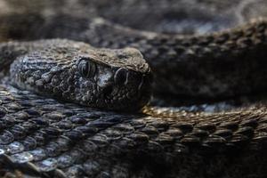 macro di serpente a sonagli maculato sud-occidentale rannicchiata guardando la fotocamera foto