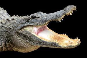 alligatore con la bocca aperta foto