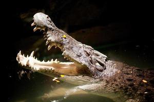 coccodrillo assassino del fiume foto