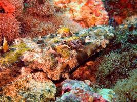 pesce-coccodrillo foto