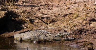 coccodrillo del Nilo foto
