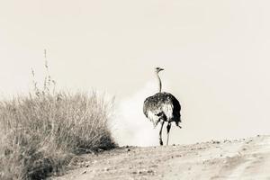 animali selvatici di struzzo foto