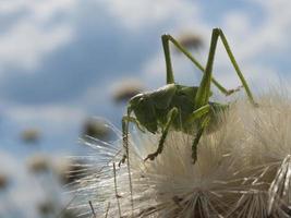 cavalletta verde foto