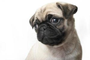 adorabile cucciolo di carlino foto