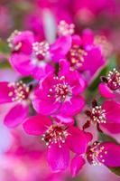 melo di granchio in fiore di primavera foto