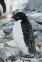 pinguino adelie adulto, che inizia a moltissimo.