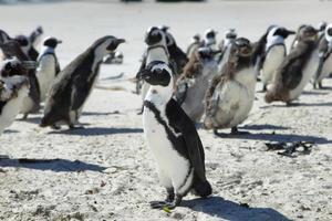 pinguini africani in spiaggia di massi foto