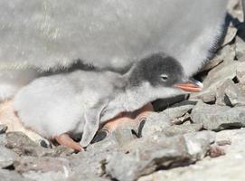 pulcino pinguino gentoo recentemente covato. foto