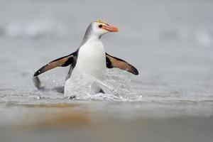 pinguino reale (eudyptes schlegeli)