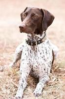 cane tedesco del puntatore dai capelli corti che si siede nel campo